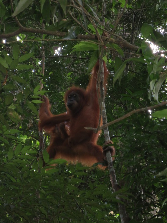 An Orangutan from Bukit Lawang in North Sumatra