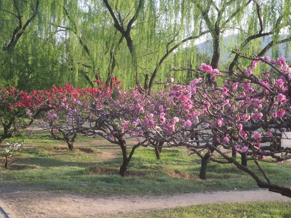 Blooming cherry trees at Beijing Botanical Gardens