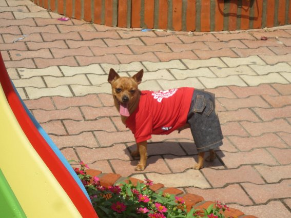 A dog with pants on