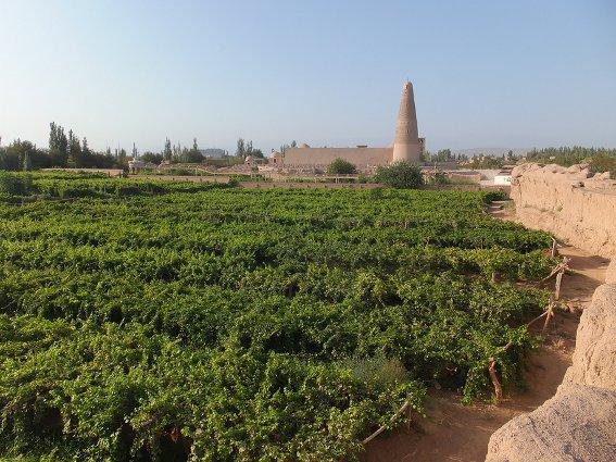 Grape field in front of the Emin Minaret