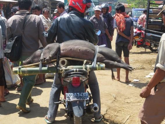 A live pig lashed to the back of a motor bike in Bemo, Tana Toraja