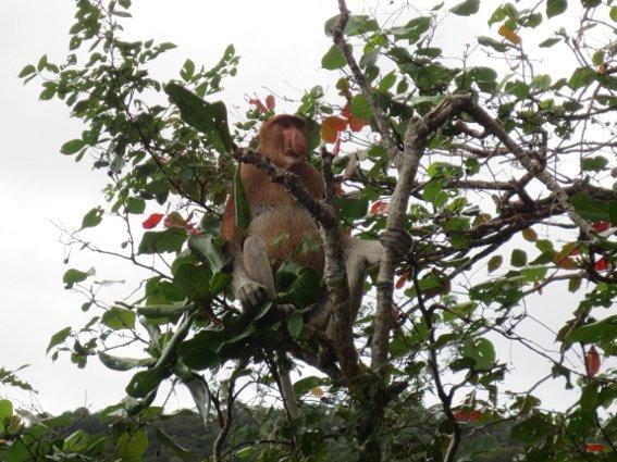 Proboscis monkey sitting in a tree at Bako