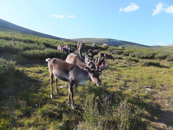 Part of the reindeer herd