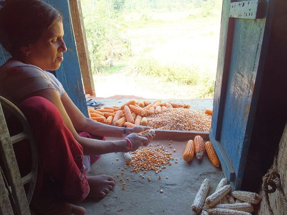 Aabhash's relative separating corn